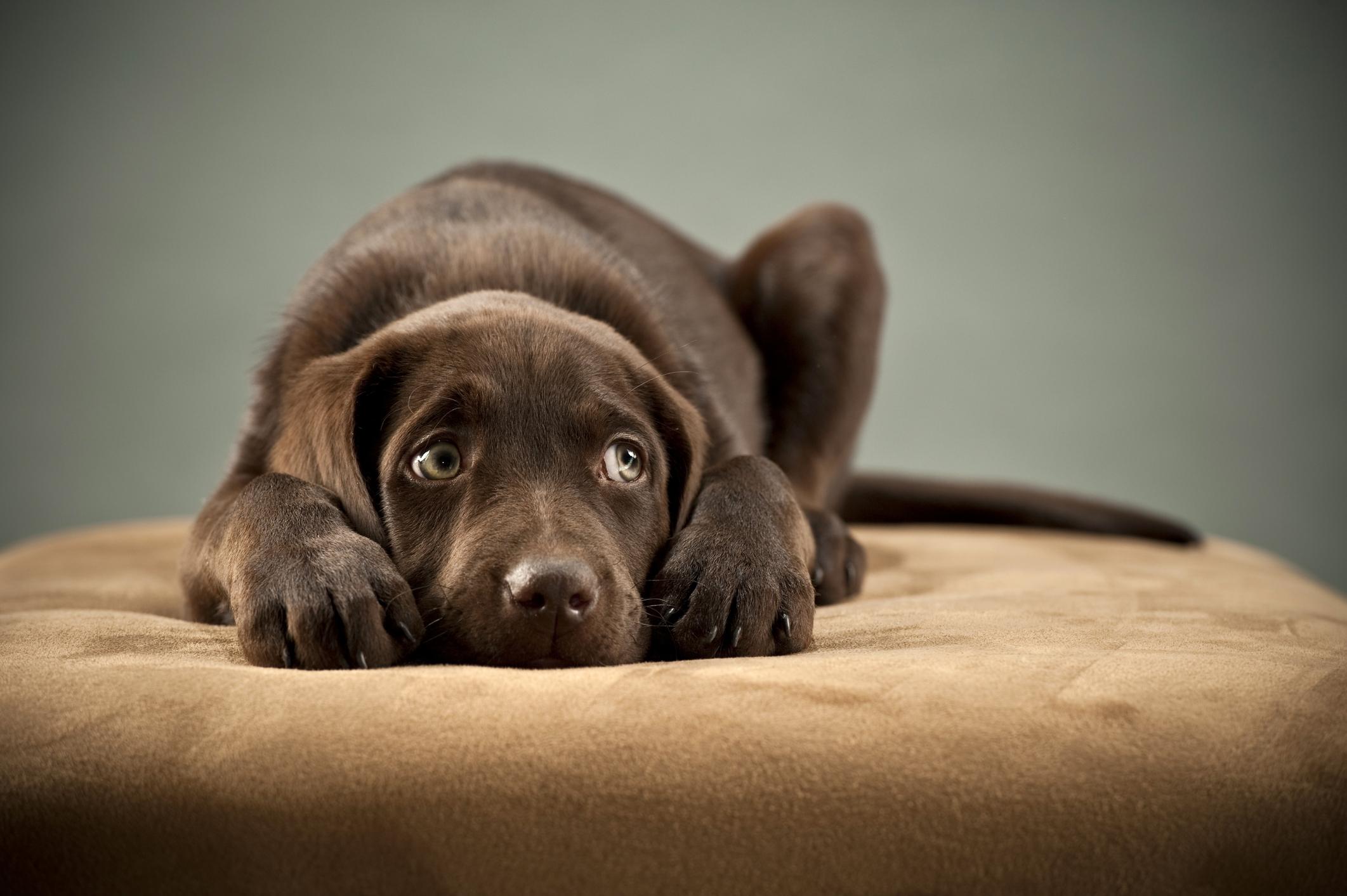 Tieraufstellung/Tierkommunikation Hund auf Kissen